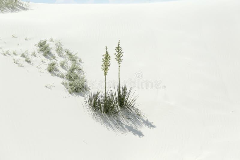 Zwei blühende Yuccaanlagen und ihre Schatten auf glänzendem weißem Wüstensand lizenzfreie stockfotografie