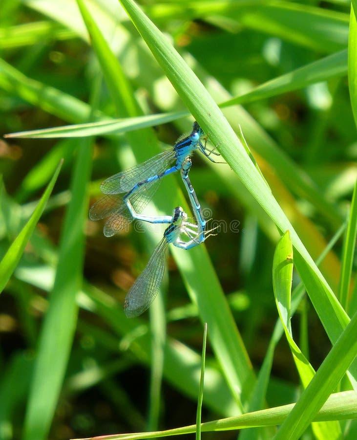 Zwei blaue Damselflies, die auf Gras verbinden stockbild