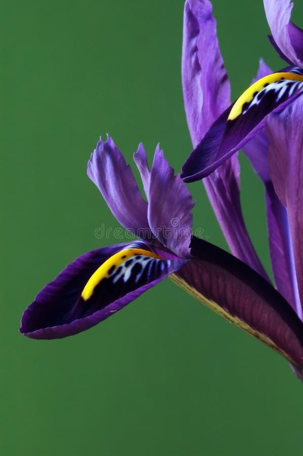 Zwei Blumenblätter lizenzfreie stockfotografie