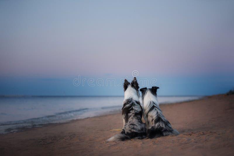 Zwei border collie auf dem Meer stockbilder