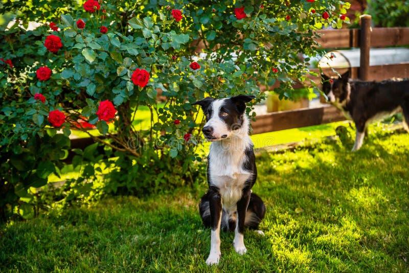 Zwei Border-Collie-Hunde im Garten lizenzfreies stockbild