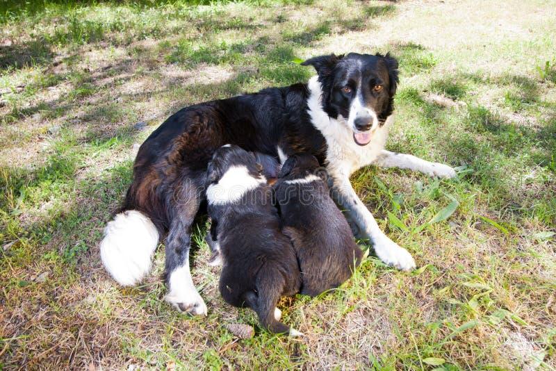 Zwei Border collie-Welpen, säugende Mutter Border collie stockfotos