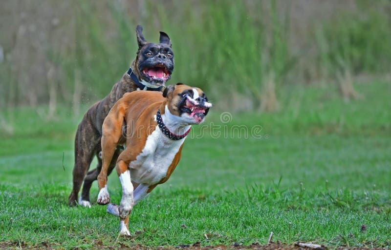 Zwei Boxer mit den lustigen Gesichtsausdrücken, die im Gras HDR spielen lizenzfreie stockbilder