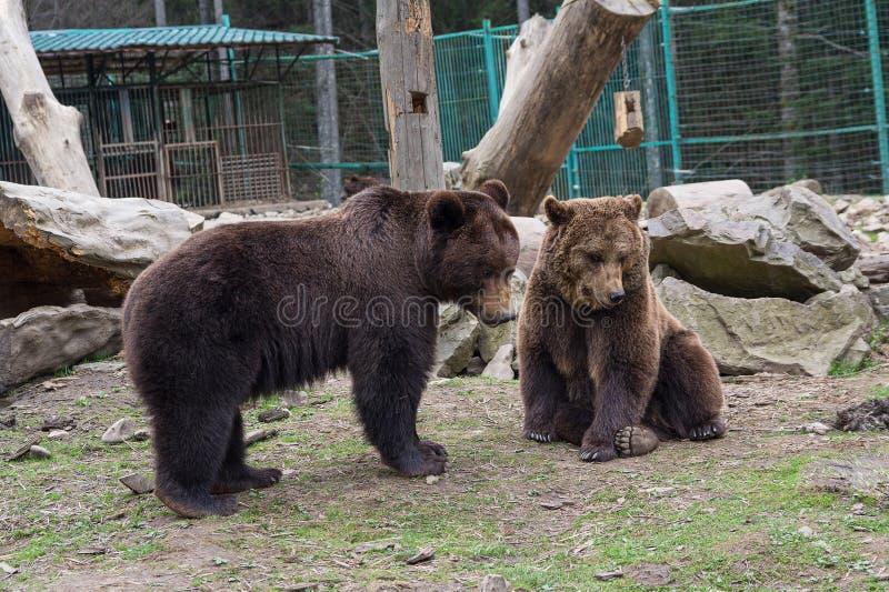 Zwei Braunbären sind in der Gefangenschaft lizenzfreie stockfotos