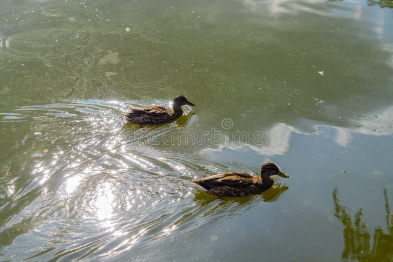 Zwei braune Enten, die in schmutziges Wasser schwitzten Ökologisches Interesse Umweltverschmutzung stockfoto