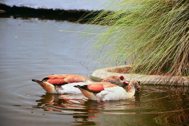 Zwei braune Enten, Drake Mallard, der auf das Wasser schwimmt lizenzfreies stockbild