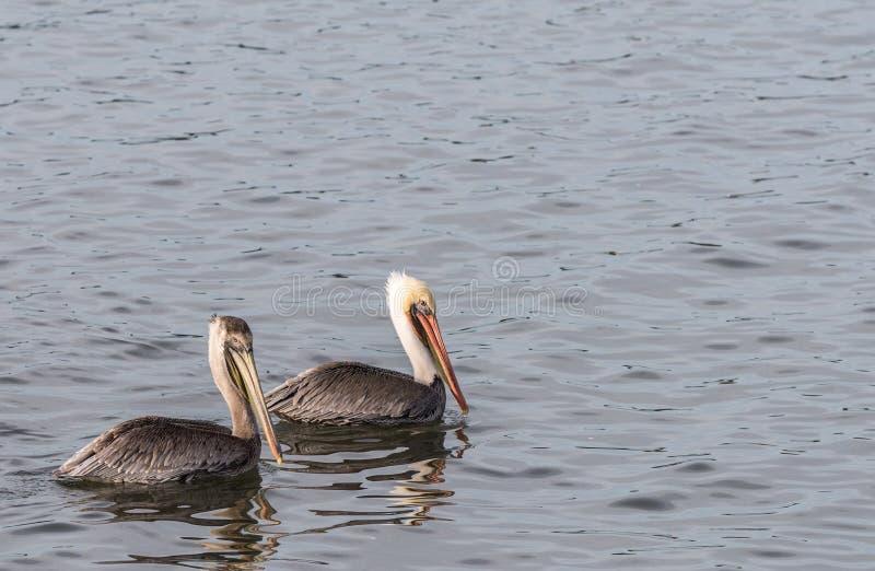 Zwei braune Pelikane, die im Pazifischen Ozean schwimmen stockbild