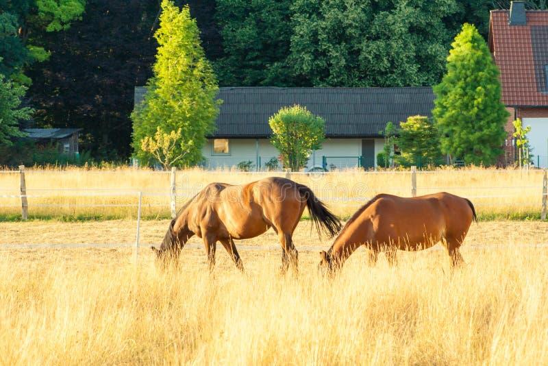 Zwei braune Pferde, die auf einer gelben Wiese stehen und Gras essen Eine schöne Landschaft mit Tieren lizenzfreie stockfotos