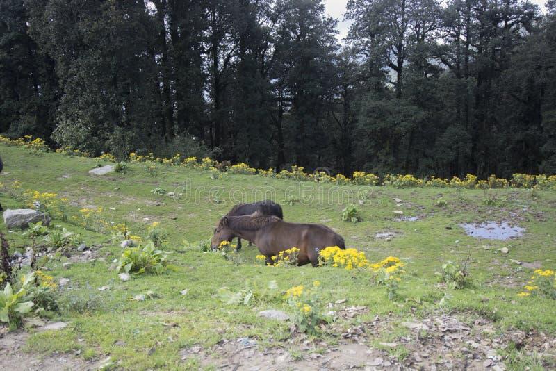 Zwei braune Pferde, die in der Hatu-Spitze von Narkhanda, Himachal Pradesh, Indien weiden lassen stockfoto