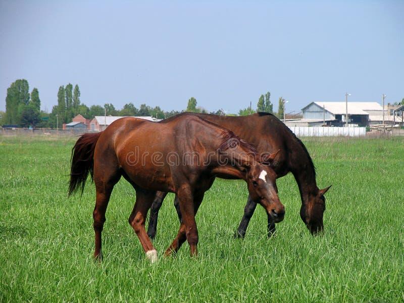 Zwei braune Pferde, die unweit vom Bauernhof einziehen lizenzfreies stockfoto