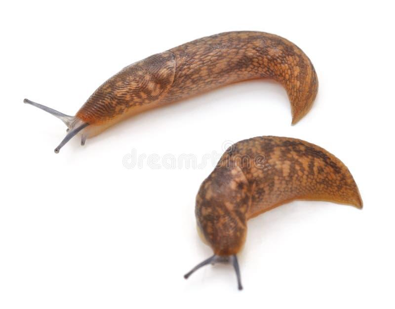 Zwei braune Schnecken lizenzfreies stockfoto
