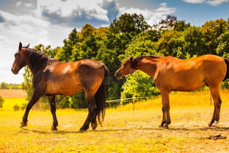 Zwei braune wilde Pferde auf Wiesenfeld lizenzfreie stockbilder