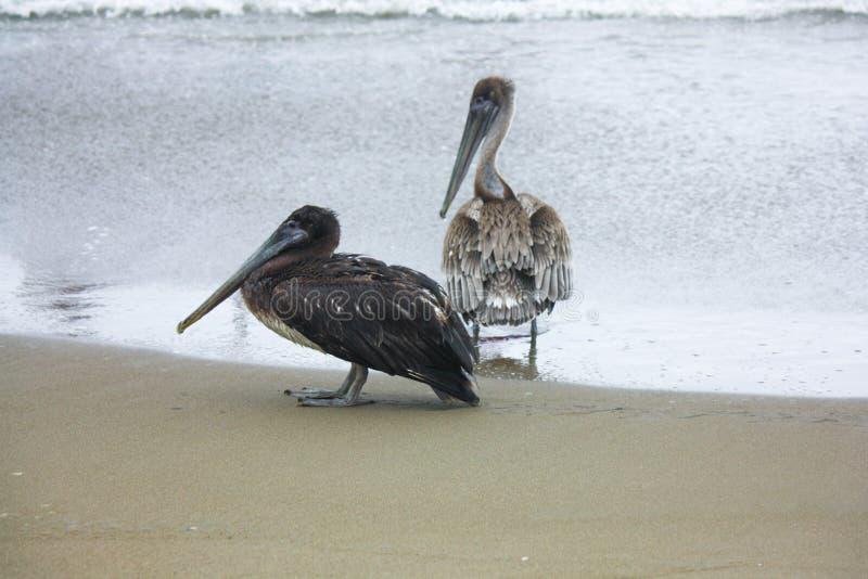 Zwei Brown-Pelikane, welche die Küstenlinie in Ecuador schlendern stockfotos
