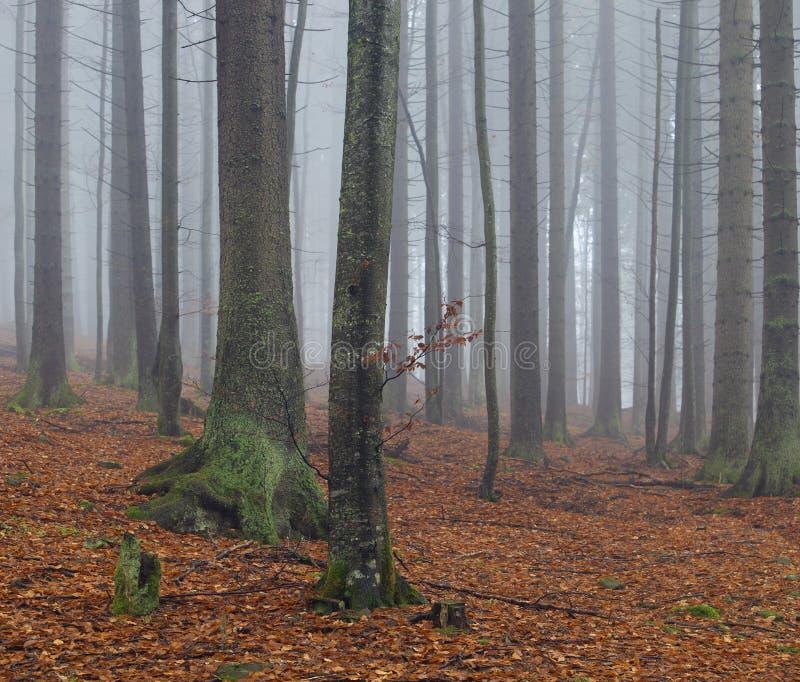 Zwei Buchen im nebelhaften Herbstwald stockfotografie