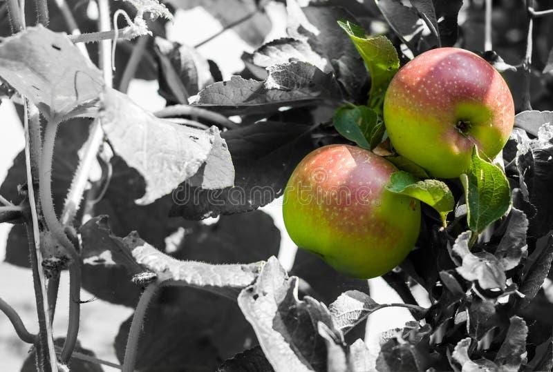 Zwei bunte Äpfel auf Schwarzweiss-Hintergrund mit Kopienraum lizenzfreie stockbilder