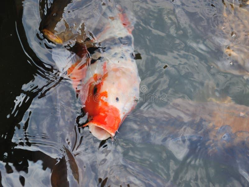 Zwei bunte Koi oder des Karpfens chinesische Fische im Wasser lizenzfreie stockfotografie