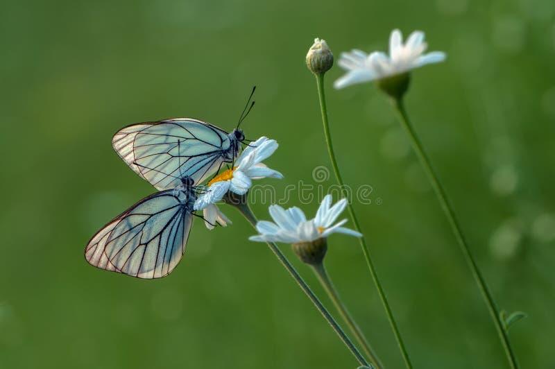 zwei butterflys Aporia-cratagi im Tau auf einem Gänseblümchen am frühen Morgen stockfotos
