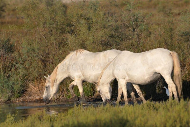 Zwei Camargue Pferde, die in einem Teich trinken stockfoto