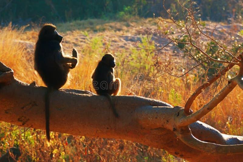 Zwei chacma Paviane stockfotografie