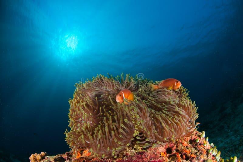 Zwei clownfishes anphiprion nigripes, die ihre Anemone in den Malediven patrouillieren lizenzfreies stockbild