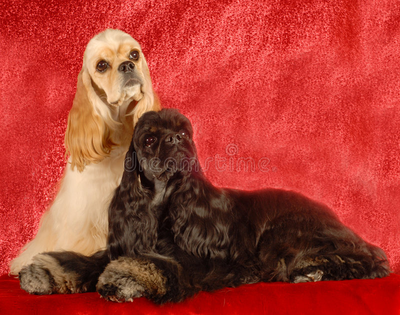 Zwei Cockerspanielhunde stockfotos