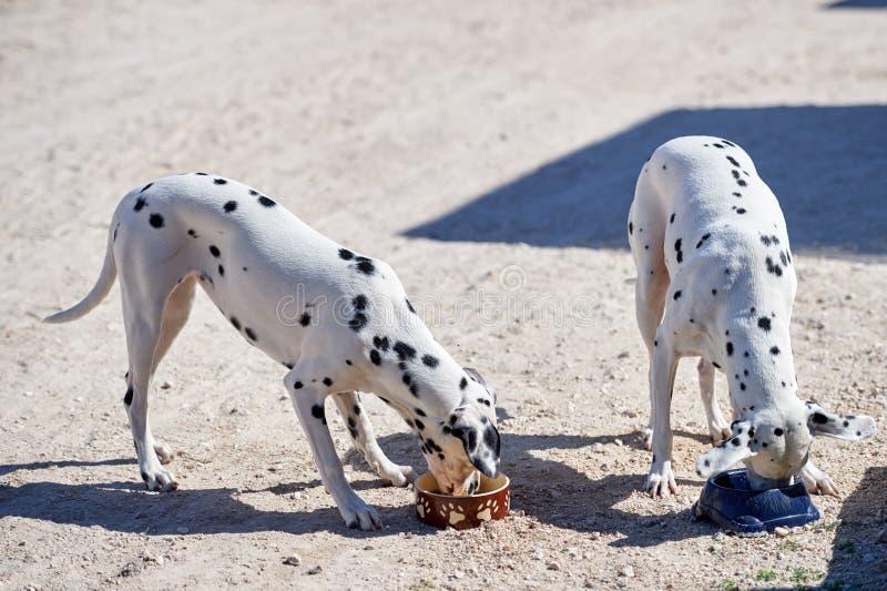 Zwei dalmatinische Welpen essen von einer Schüssel lizenzfreies stockfoto
