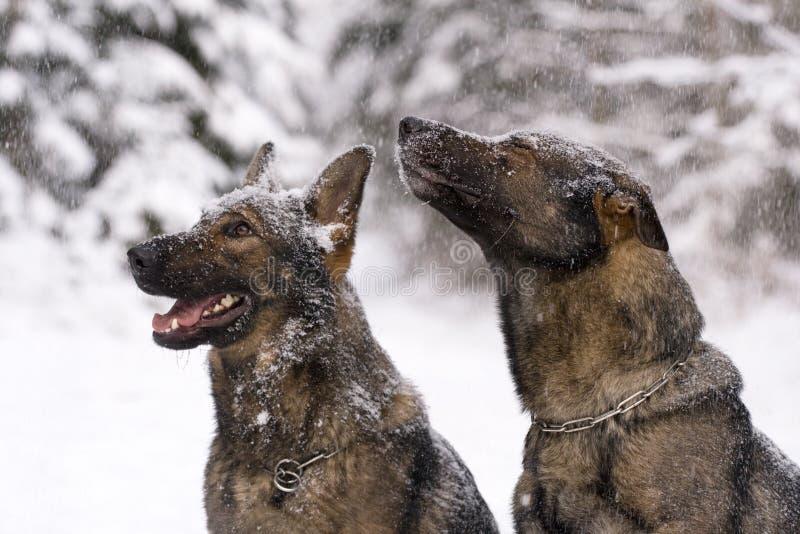 Zwei deutsche Schäferhunde im Winterholz lizenzfreie stockbilder