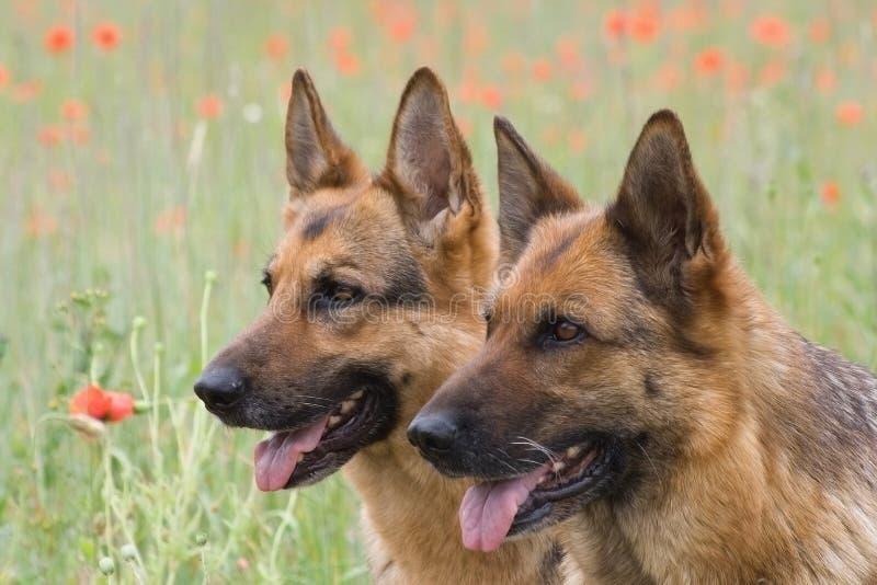 Zwei Deutschland-Schäferhunde stockbilder