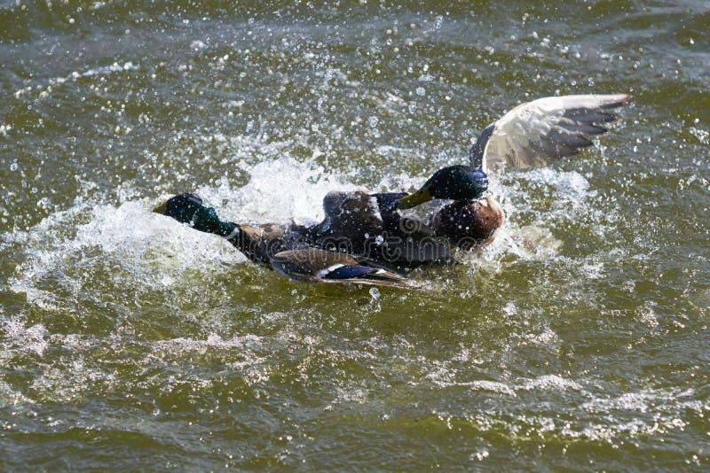 Zwei Drake Mallard-Enten, die für Herrschaft kämpfen und viele wässern lassen, spritzt auf einem See lizenzfreies stockbild