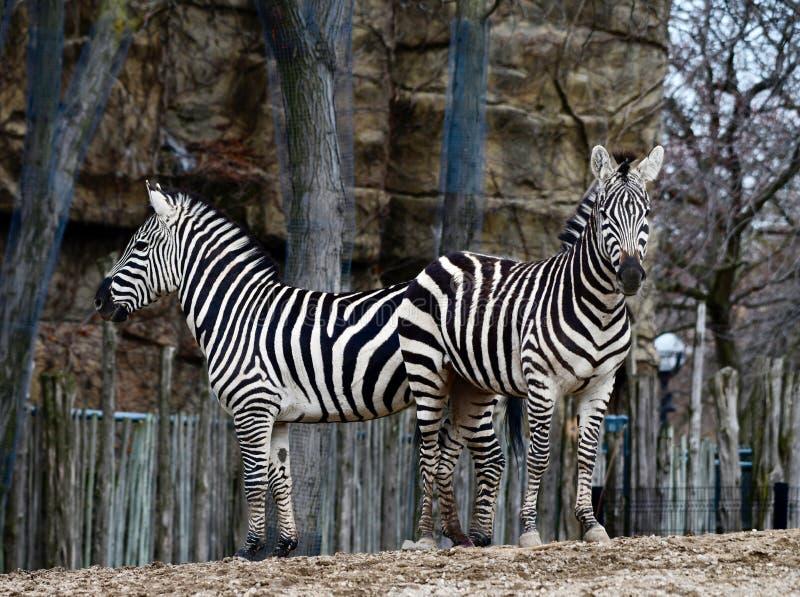 Zwei Ebenen-Zebras 1 stockfotos