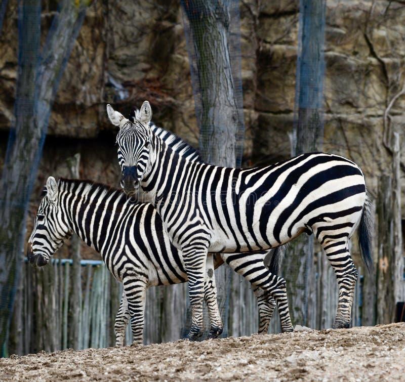 Zwei Ebenen-Zebras 2 stockfotos