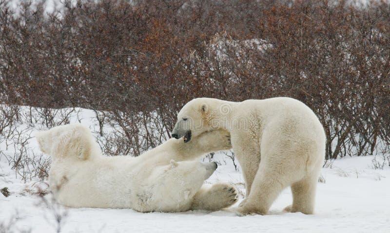 Zwei Eisbären, die mit einander in der Tundra spielen kanada lizenzfreie stockfotos