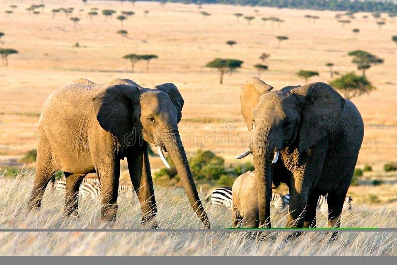 Download Zwei Elefanten in Afrika stockfoto. Bild von afrika, kenia - 43542