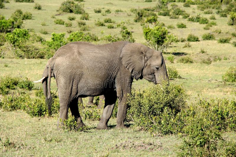 Zwei Elefanten, die Büsche in Kenia, Afrika essen stockfotografie