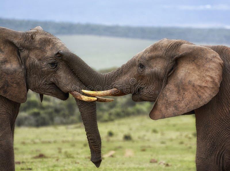 Zwei Elefanten, die liebevolles Schnüffeln mit Stamm auf Gesicht sind stockbilder