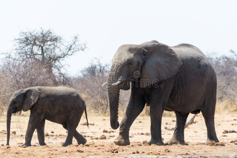 Zwei Elefanten, Erwachsener und Kind, auf dem Weg zum waterhole lizenzfreie stockfotos