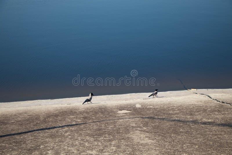 Zwei Elster auf dem Ufer des Reservoirs gehen nach einander lizenzfreie stockbilder