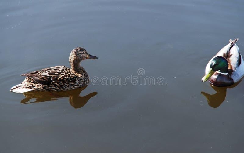 Zwei Enten auf dem See stockfotografie
