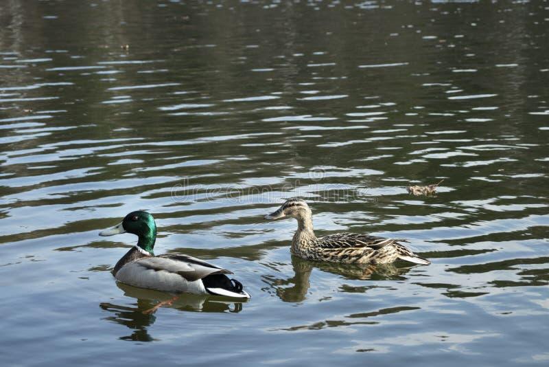 Zwei Enten auf dem See lizenzfreie stockfotos