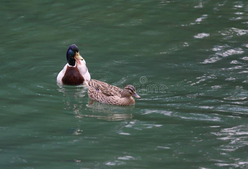 Zwei Enten, die in einem Teich schwimmen lizenzfreies stockbild