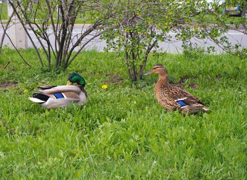 Zwei Enten gehen in das grüne Gras nahe der Stadtstraße stockfotos