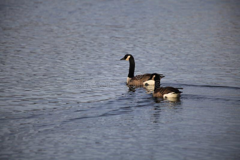 Zwei Enten schwimmen über einem See lizenzfreie stockfotografie