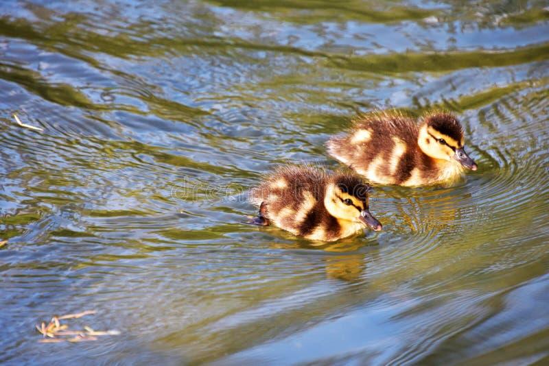 Zwei Entlein schwimmen im Teich lizenzfreie stockfotografie