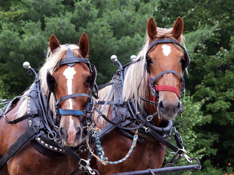 Zwei Entwurfspferde oben in Ordnung gebracht lizenzfreies stockfoto