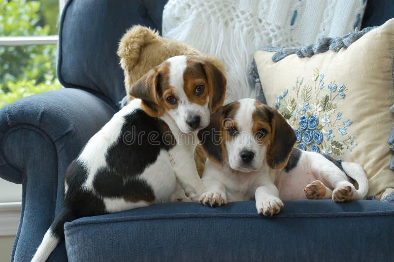 Zwei entzückende Spürhundwelpen lizenzfreies stockfoto