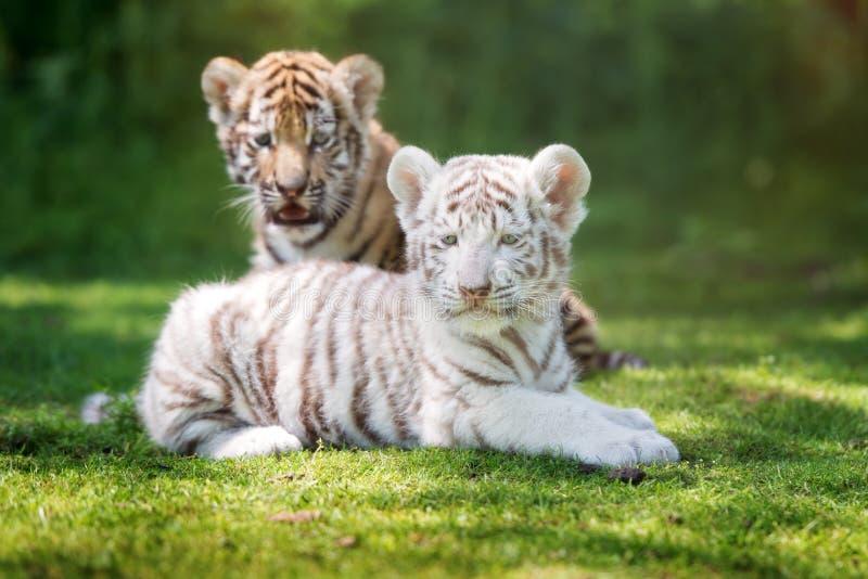 Zwei entzückende Tigerjunge draußen lizenzfreies stockbild