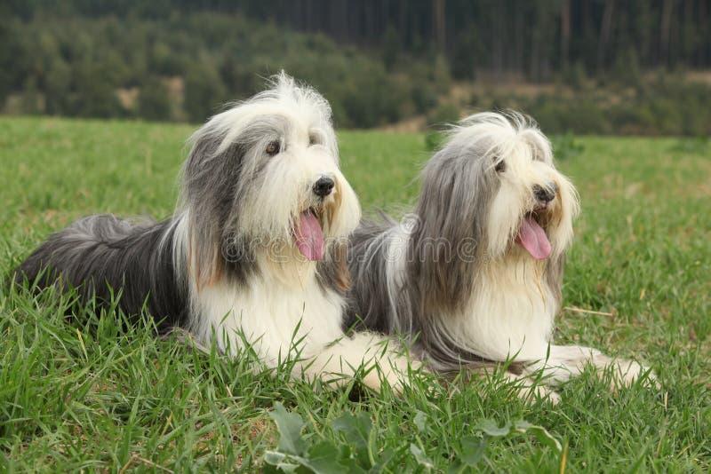 Zwei erstaunliche Bearded Collien, die im Gras liegen stockbild