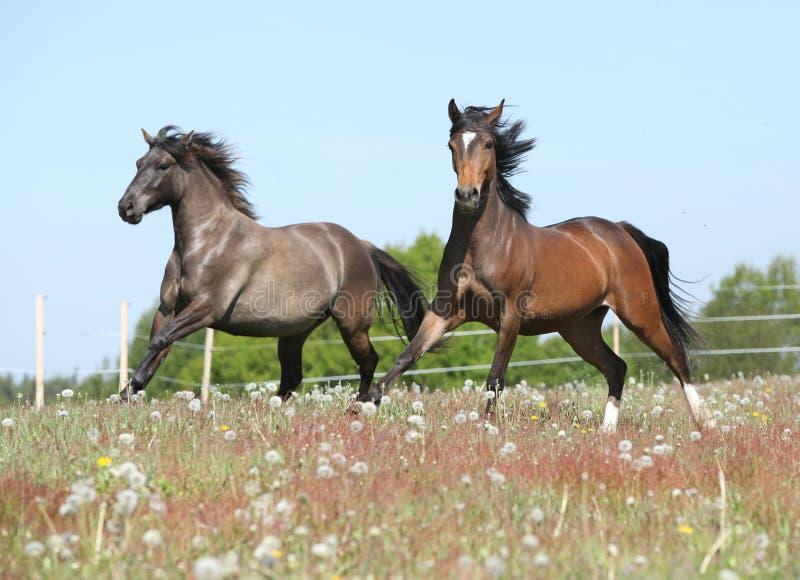 Zwei erstaunliche Pferde, die auf Frühlingsweide laufen lizenzfreie stockfotos