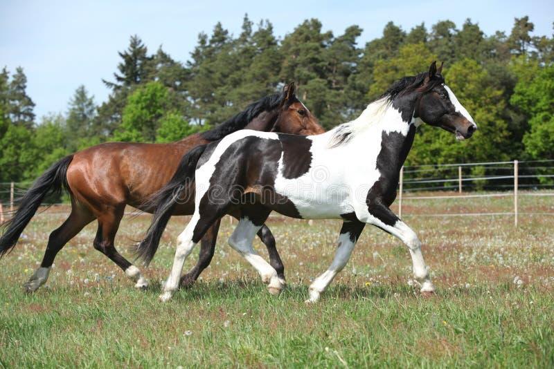 Zwei erstaunliche Pferde, die auf Frühlingsweide laufen lizenzfreie stockfotografie