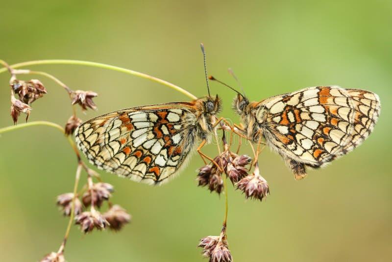 Zwei erstaunliches seltenes Heath Fritillary Butterfly Melitaea athalia, das auf dem Säen des Grases, in einem Waldland gegenüber stockfotos